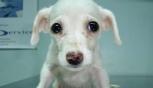 Esmeralda, da sette anni si cerca la cagnolina bianca con tre zampette