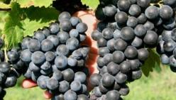 Vino, vendemmia: clima brucia il 9% del raccolto, bene la qualità