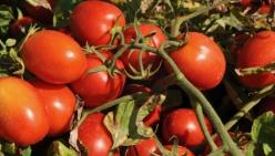 Lotta al ragnetto rosso, l'acaro che minaccia il pomodoro da industria