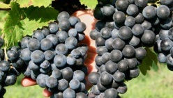 NO alla riduzione indiscriminata delle rese massime per i vini generici.