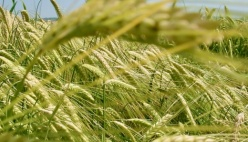 AGRICOLTURA, L'ABBATE (M5S): avvio commissione 'grano duro' punto di partenza per rilancio filiera