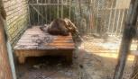 """Dal Centro Fauna Selvatica """"Il Pettirosso"""" un progetto per gli orsi bruni"""