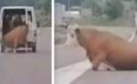 Furgone perde la mucca per strada