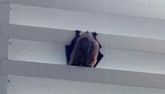Ucciso di rabbia dal morso di un pipistrello. Per gli esperti evento rarissimo